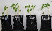 Con bacterias promotoras de crecimiento vegetal, investigadores BUAP estabilizan concentraciones de metales pesados en suelos