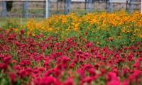 Después del mal año pasado, comienza de nuevo la recolección de flor de cempasúchil en Atlixco