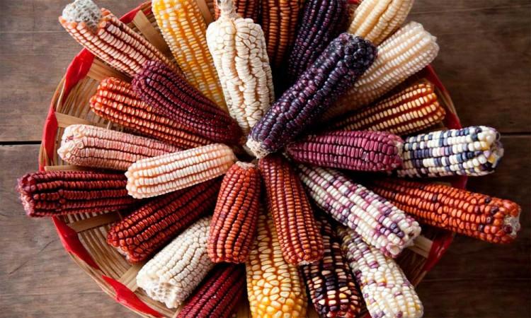 Hoy es el Día Nacional de Maíz, el alimento fundamental del mexicano