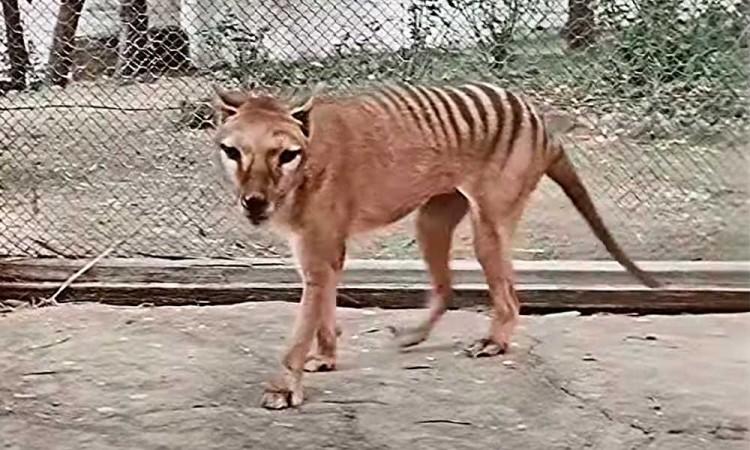 ¿Quieres saber cómo lucía un tigre de Tasmania? En Australia recrearon a color el último video de esta especie
