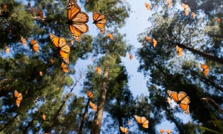 Deforestación en México, así afectaría a la mariposa monarca