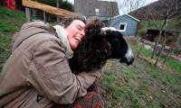 ¿Te sientes triste? Una granja alemana da la oportunidad de abrazar ovejas para combatir la soledad