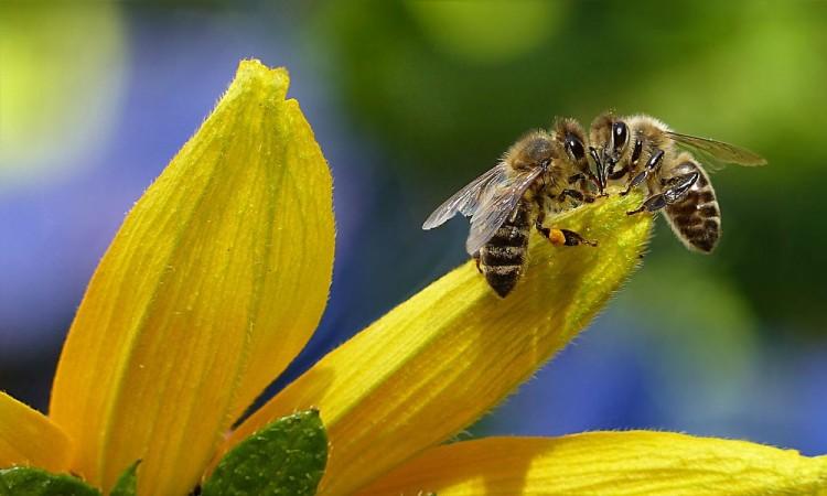 ¿Cuántos tipos de abejas existen?