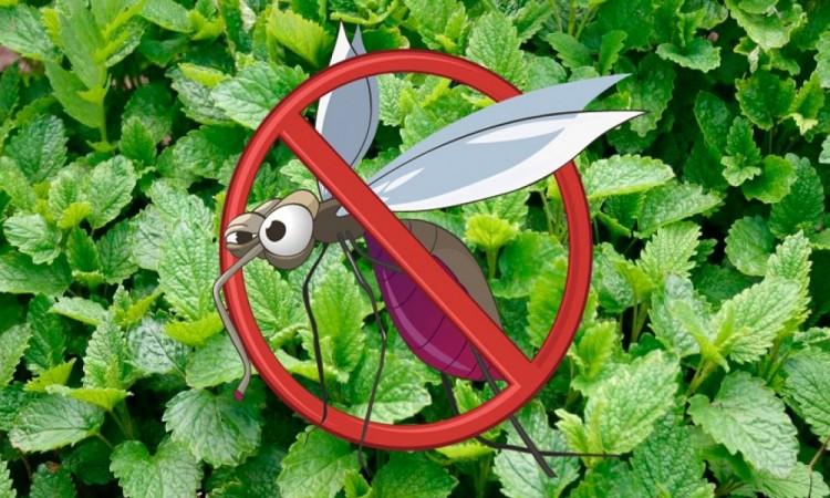 Cinco plantas repelentes de insectos