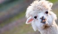 ¡Las alpacas pueden ser la salvación! El anticuerpo de este animal combate las variantes brasileña, británica y sudafricana