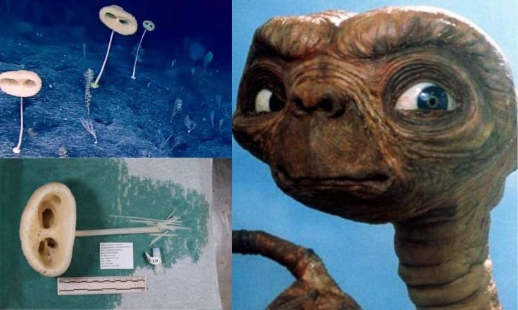Descubren especie marina en Oceáno Pacífico con similitudes de E.T el extraterrestre