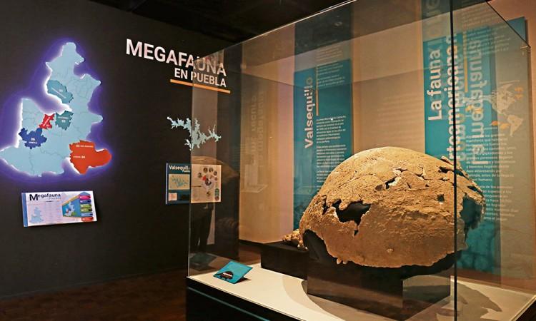 Exponen piezas de mamut en Museo del INAH