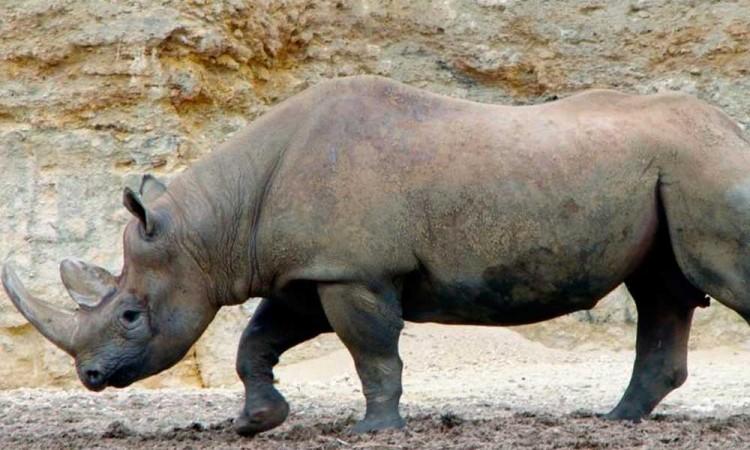 Población de rinoceronte negro se recupera