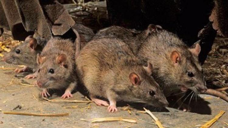 En China ratas contagian a personas con una nueva cepa de hepatitis E
