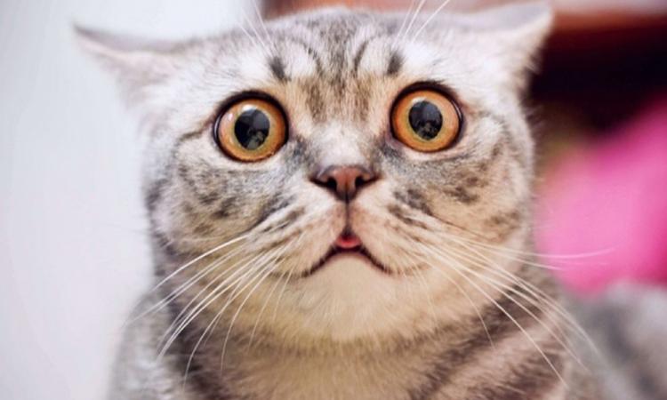 Gatos pueden contagiarse de coronavirus: Estudio
