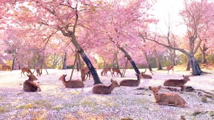 Hermosa postal japonesa, ciervos reposan bajo los cerezos en flor