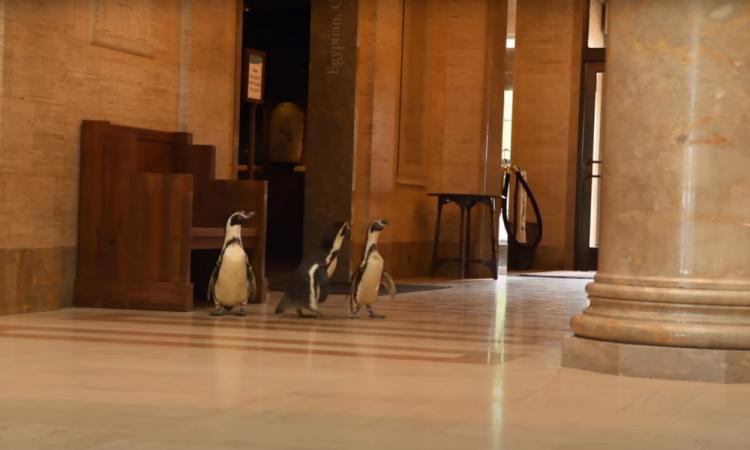 Pingüinos visitan Museo de Arte en Kansas, EU