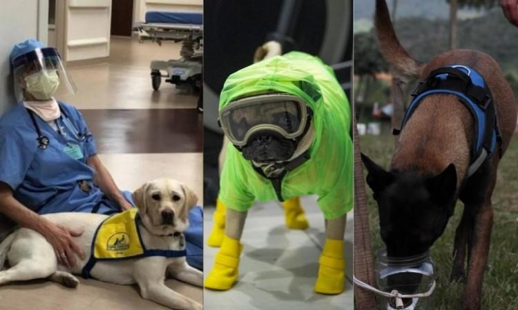 Perros que luchan contra el coronavirus