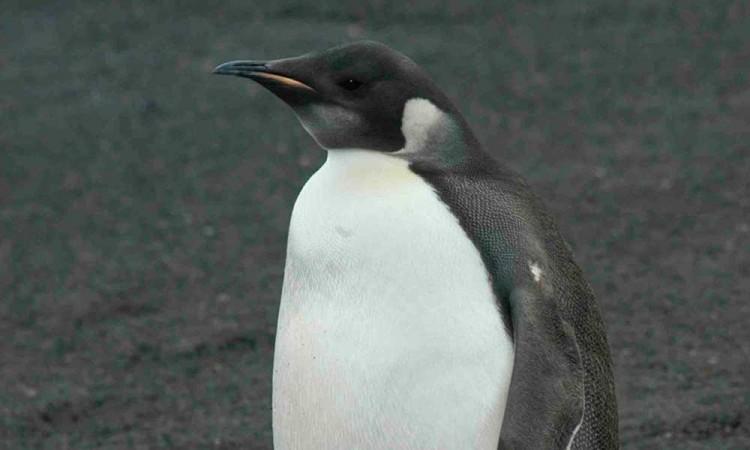 Descubren nuevas colonias de pingüino emperador en la Antártida
