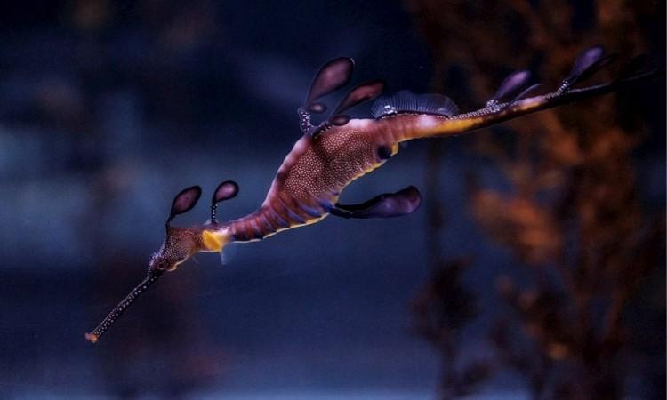 Nacen por primera vez 24 bellos dragones de mar en de Las Palmas de Gran Canaria