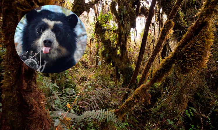 Hallan osos andinos, especie en extinción, cerca de zona ganadera en Ecuador