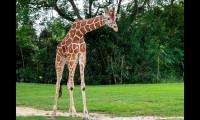 Adiós Pongo: Zoológico elige la eutanasia para jirafa que no podía caminar