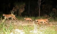 ¡No se vale! Van 3 panteras atropelladas durante enero en Florida