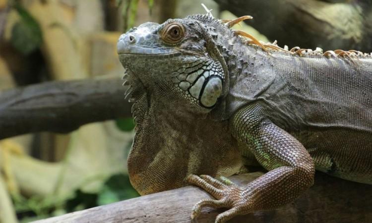 Habrá lluvia de iguanas en Florida por las bajas temperaturas