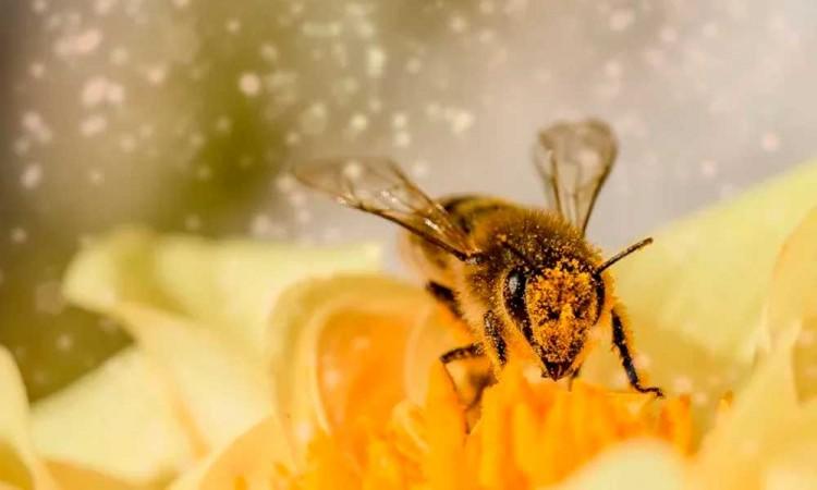 Entrenan abejas para detectar el Covid-19 en Holanda