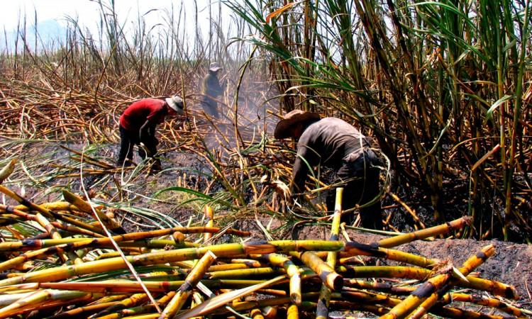 Cambian obreros zafra por albañilería