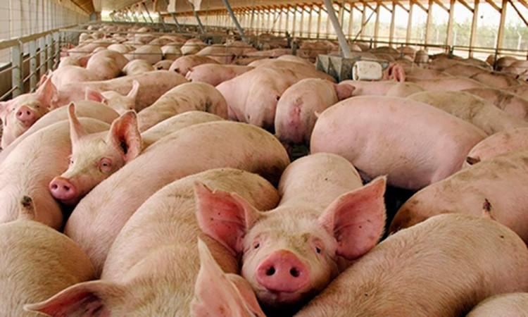 Celebran apertura para exportar carne de cerdo