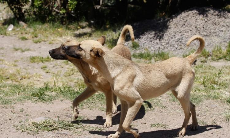 Inquietan ataques de perros callejeros