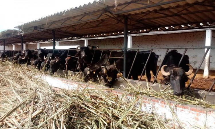 Aseguran 44 búfalos de agua en Chipilo