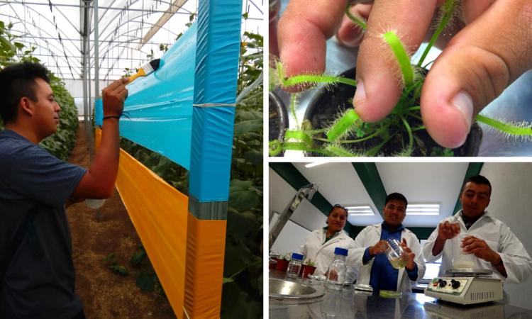 Crean trampa adherente contra insectos plaga en cultivos