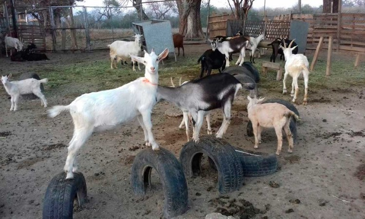 Buscan que cabra pastoreña sea Patrimonio Ganadero