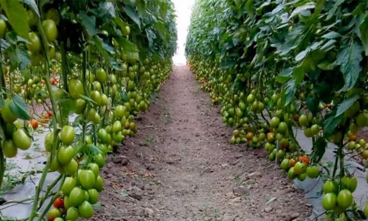 Sequías provocan baja producción de jitomate en Aquixtla