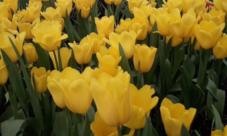 Tulipán, sustento de viveristas durante la cuesta de enero