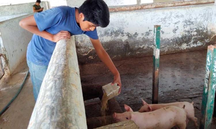 Impulsan producción de porcinos en escuela de Teco