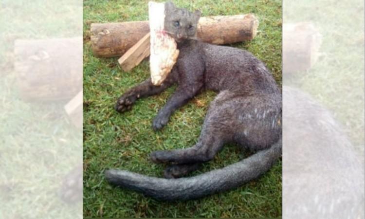 Piden investigar caza de Jaguarundi en Huauchinango
