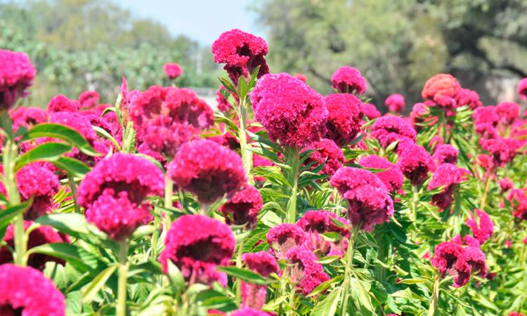 Reducen siembra de flor de muerto en Tehuacán