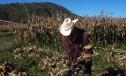 Se desploma la venta del maíz en Calpan