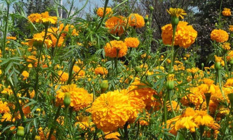 Afectará a vendedores y productores de flores cierre de panteones en Día de Muertos