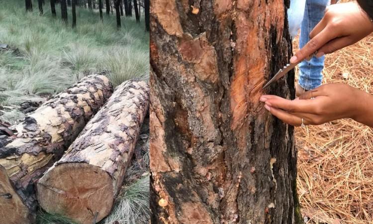 Azota plaga de gusano descortezador en parque Izta-Popo
