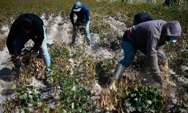 Productores duplicarán cosecha de frijol con asesoría de Granjas Carroll
