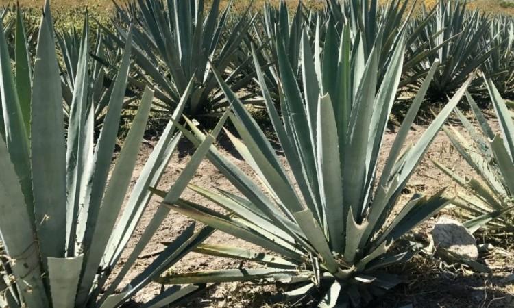Las especias de maguey más demandas son la marmorata, patotorum y el agave Iyobaa.