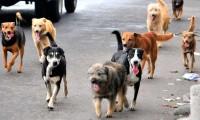 Sobrepoblación canina, problema social en zona rural del valle de Atlixco