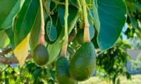 Productores buscan recuperar cosechas del aguacate nativo de Atlixco