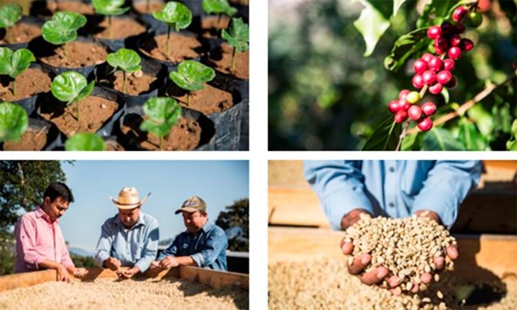 Donará Starbucks 4 millones de plantas de café en México