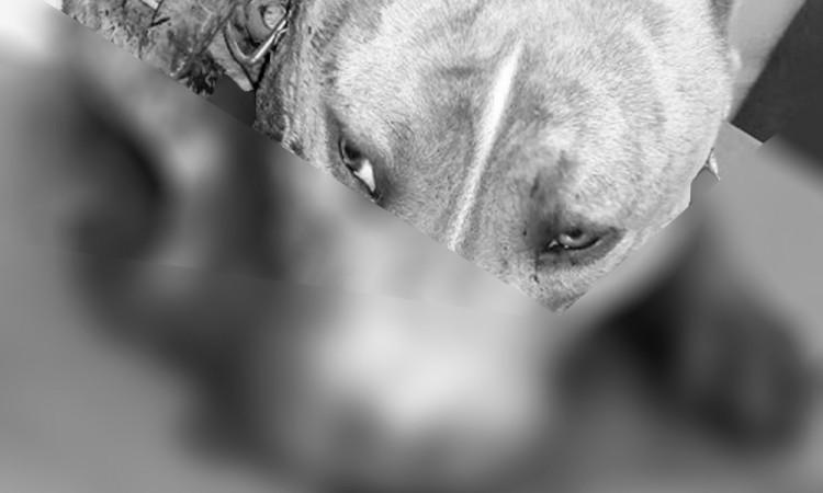 Custodios propinan escopetazo a pitbull en Ecatepec