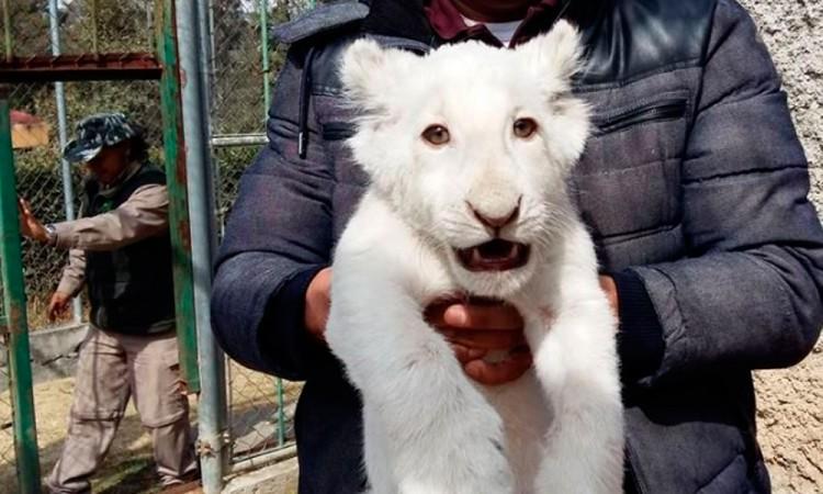 Invitan a nombrar al nuevo león blanco de Tlaxcala