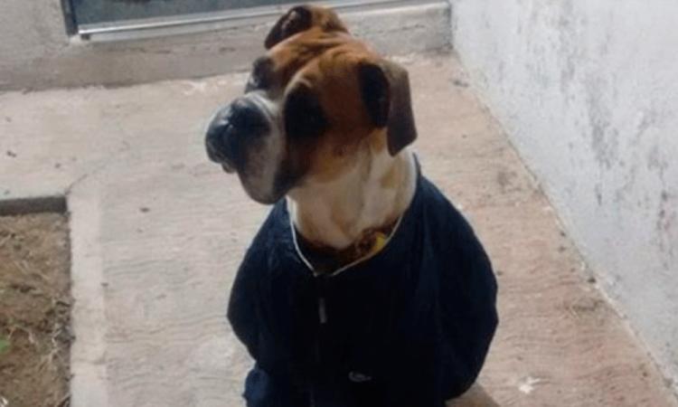 Exigen justicia para Miguel, un perro que torturaron con pirotecnia