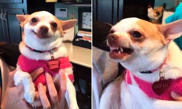 Perros chihuahua, reactivos y agresivos