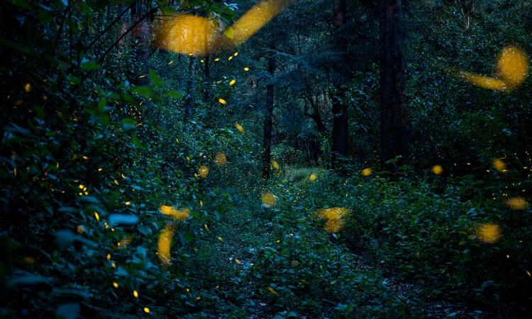 Alertan de posible extinción de las luciérnagas