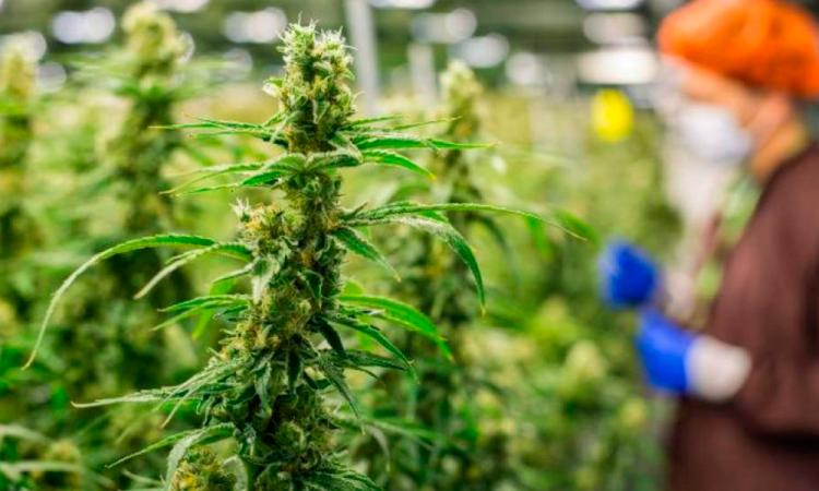 Campo poblano apuesta por sembrar marihuana