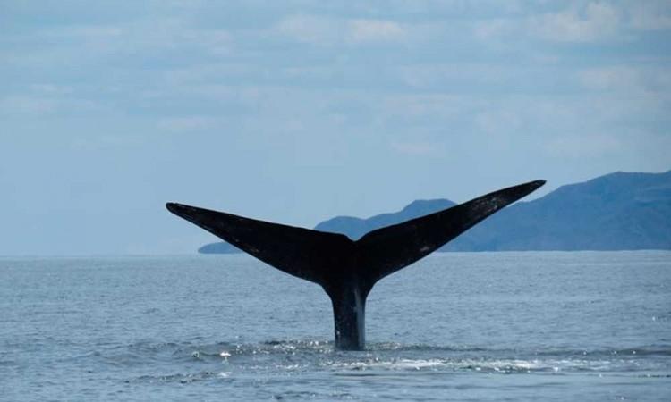 Reportan avistamiento de ballena azul en Baja California Sur